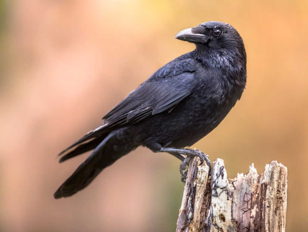 Researchers in Germany have discovered crows are capable of consciously perceiving sensory impressions