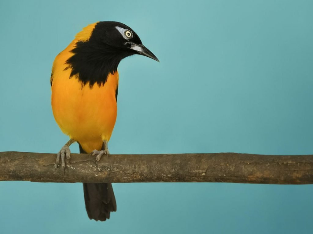 The female Venezuelan troupial sings, as does the male