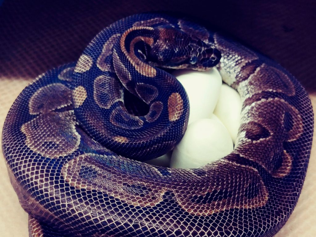 The 62-year-old ball python curled up around her eggs