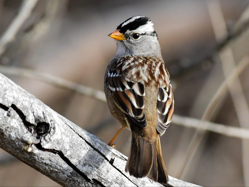 As road traffic has increased over the years, species such as the white-crowned sparrow have adjusted by raising the pitch of their song to be heard