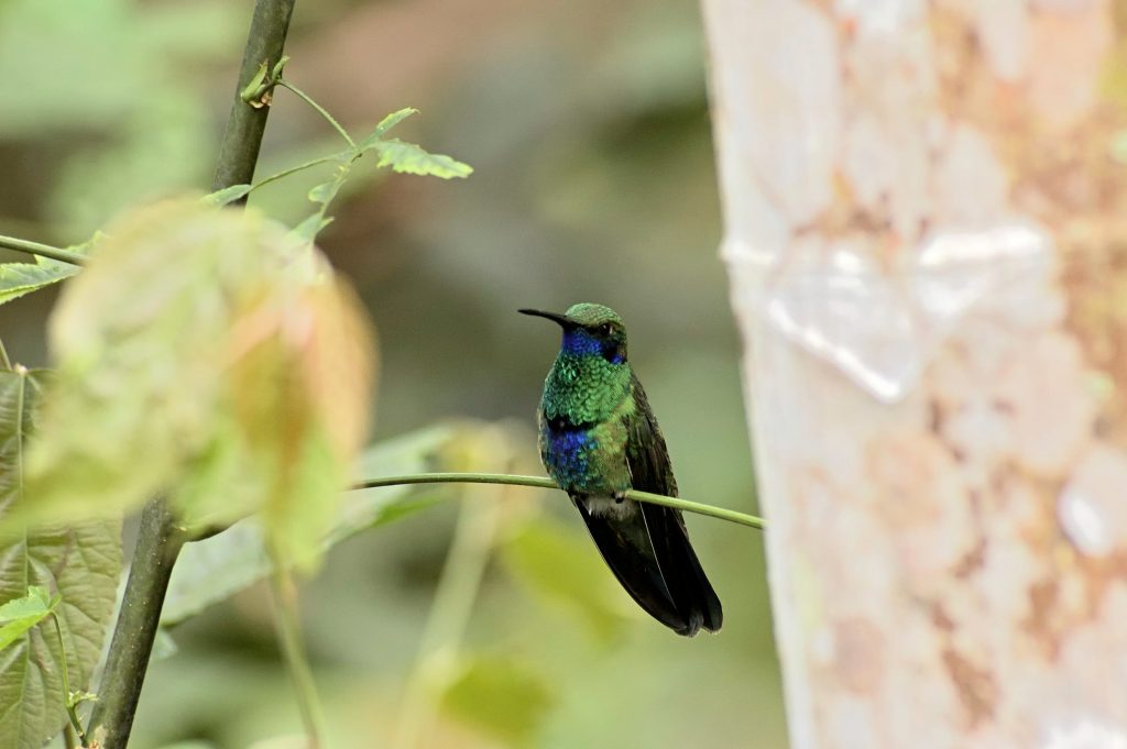 A sparkling violetear perched on a thin limb in the Tandayapa reserve, Ecuador