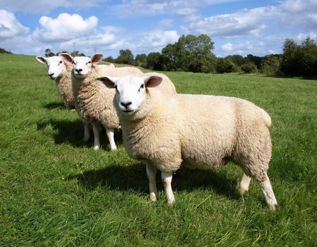 There's a solid economic case for sheep farmers to instead grow forests and become carbon offsetters
