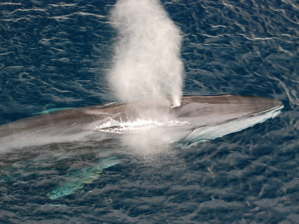 The second largest animal on the planet, the fin whale, also has one of the lowest singing voices. Scientists now know distinct groups of fin whales can trade vocalisation patterns