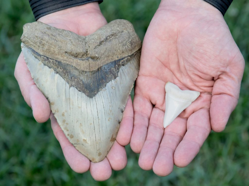A 6-inch megalodon tooth next to a two-inch great white shark tooth