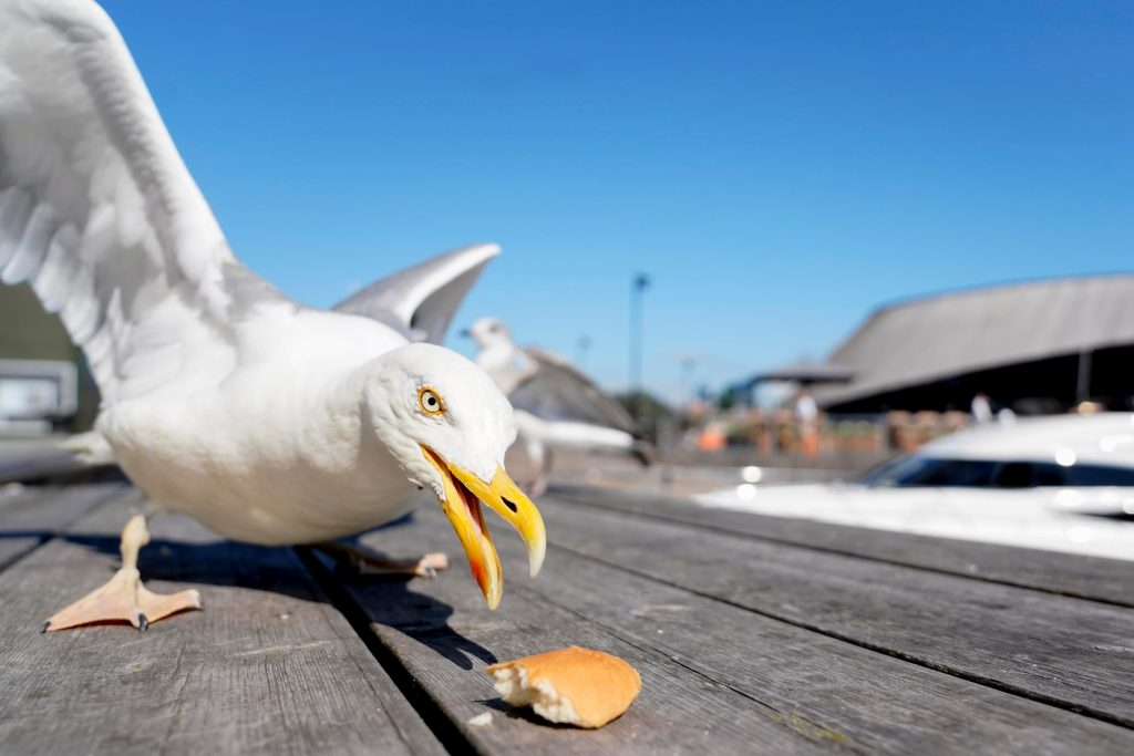 It is not just British seagulls that have developed a taste for human lunches. Here, a seagull attempts to eat a piece of bread during sunny weather in Oslo