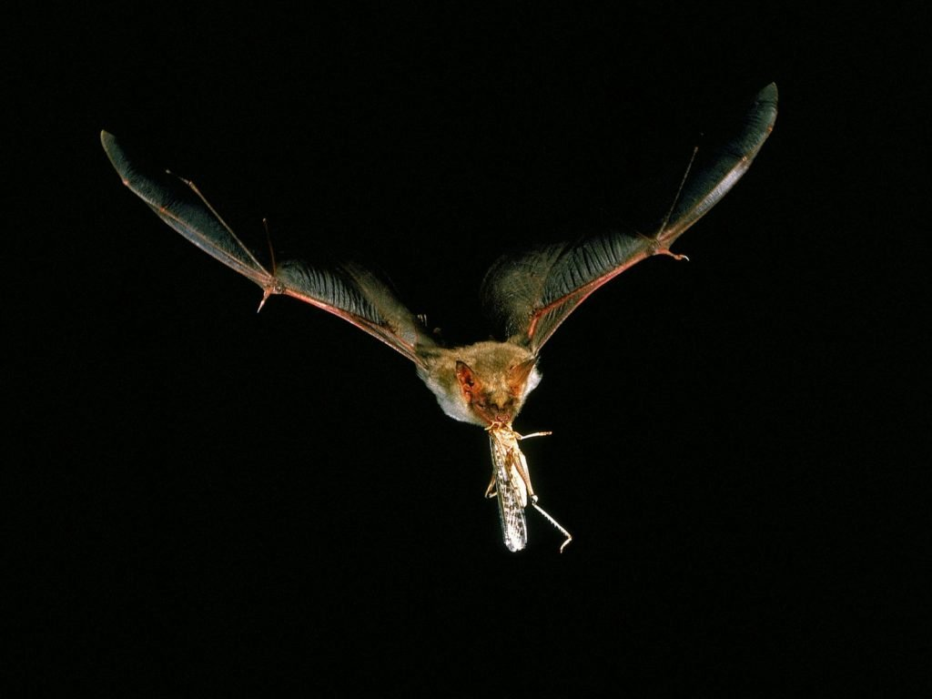 A mouse-eared bat carries off a meal. Bats don't just aim at where their prey is, but where they think it's going to be