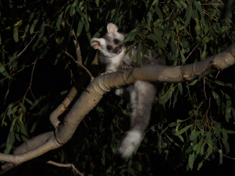 <p>It was previously thought there was just one species of glider, but DNA analysis has revealed there are three</p>