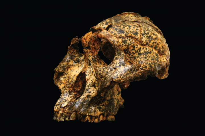 The rare, male fossil from the Drimolen Main Quarry north of Johannesburg, South Africa. Found by researchers at La Trobe University in Melbourne, Australia