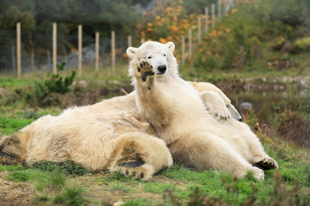 Hamish (pictured waving), who is now two-and-a-half years old, shares an enclosure with his mother Victoria at the Highland Wildlife Park near Aviemore.