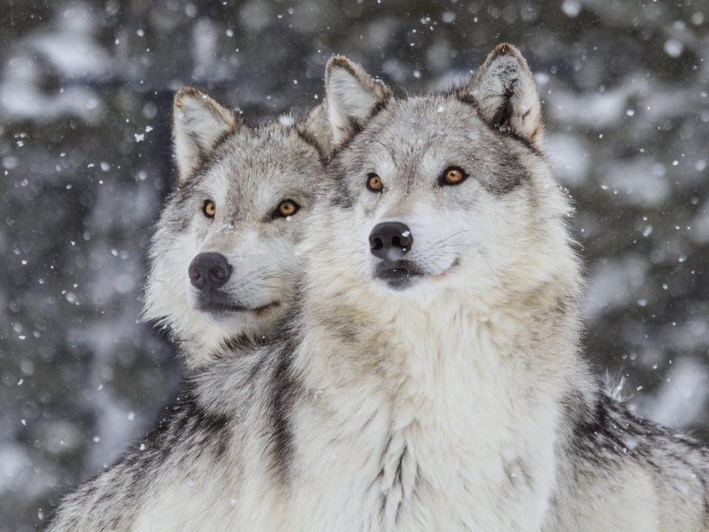 Wolves in the Rocky Mountains. Due to reintroduction programmes, over 1,700 wolves now live in Montana, Idaho, Washington, Oregon, Utah and Wyoming