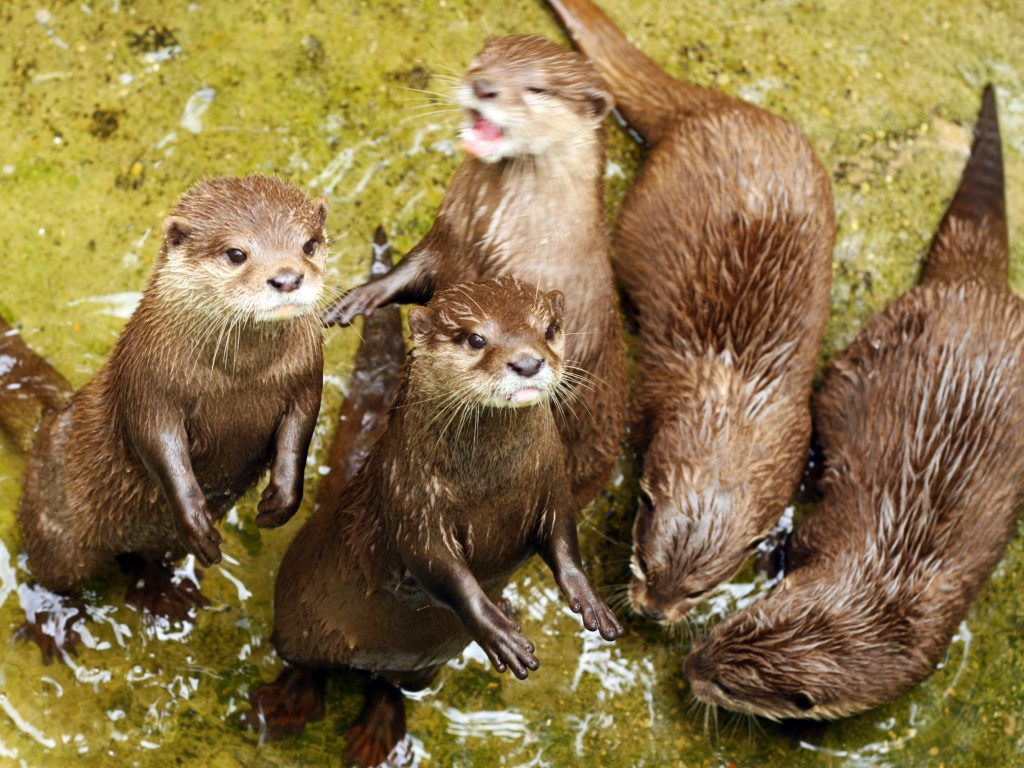 When one otter solved a puzzle, its 'friends' quickly figured it out too, researchers found