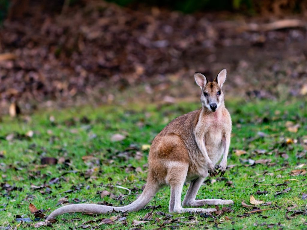 Wallabies are adept escape artists, and have been regularly spotted across the UK over the last century