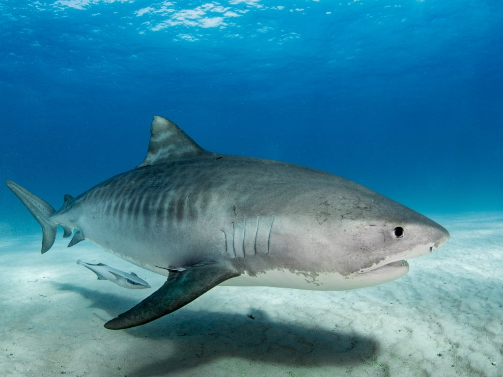 'Alarmingly high' levels of toxic metals have been found in sharks in the Bahamas, research has found