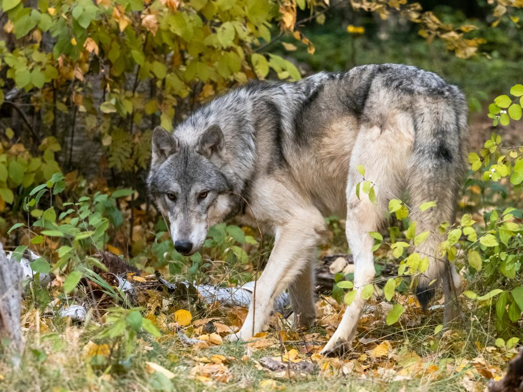 <p>New research appears to have traced the earliest dogs to around 21,000BC</p>