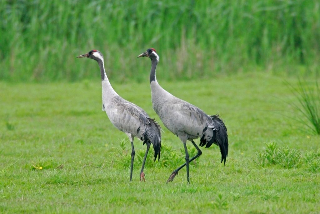 A pair of Grus grus cranes pictured at the Lakenheath Fen RSPB reserve in Suffolk, England