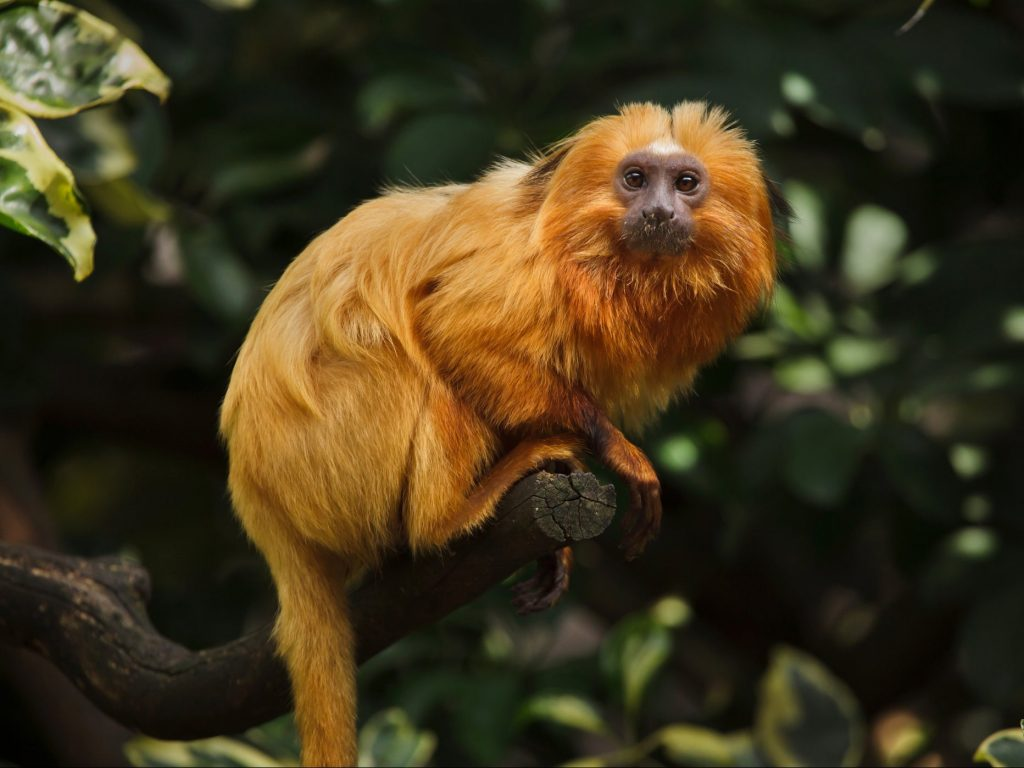 A golden lion tamarin in the Atlantic Forest, where researchers found animals living in fragmented habitats were suffering in comparison to those living in larger tracts of forest